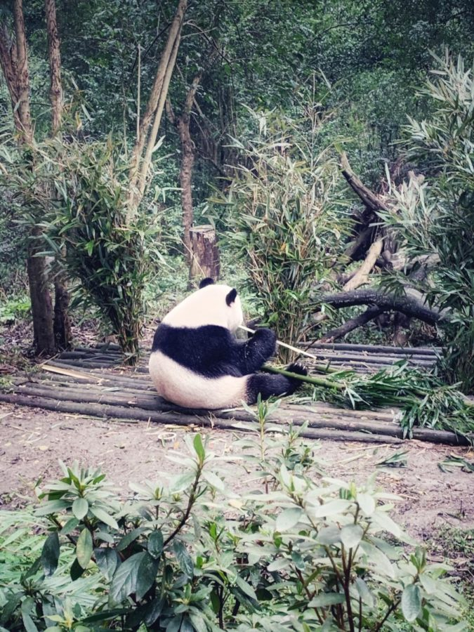 A+giant+panda+munches+on+locally+grown+bamboo+at+the+Chengdu+Research+Base+of+Giant+Panda+Breeding+on+Tuesday%2C+Nov.+26.+Photo+by+B.+Nasser+2019.+